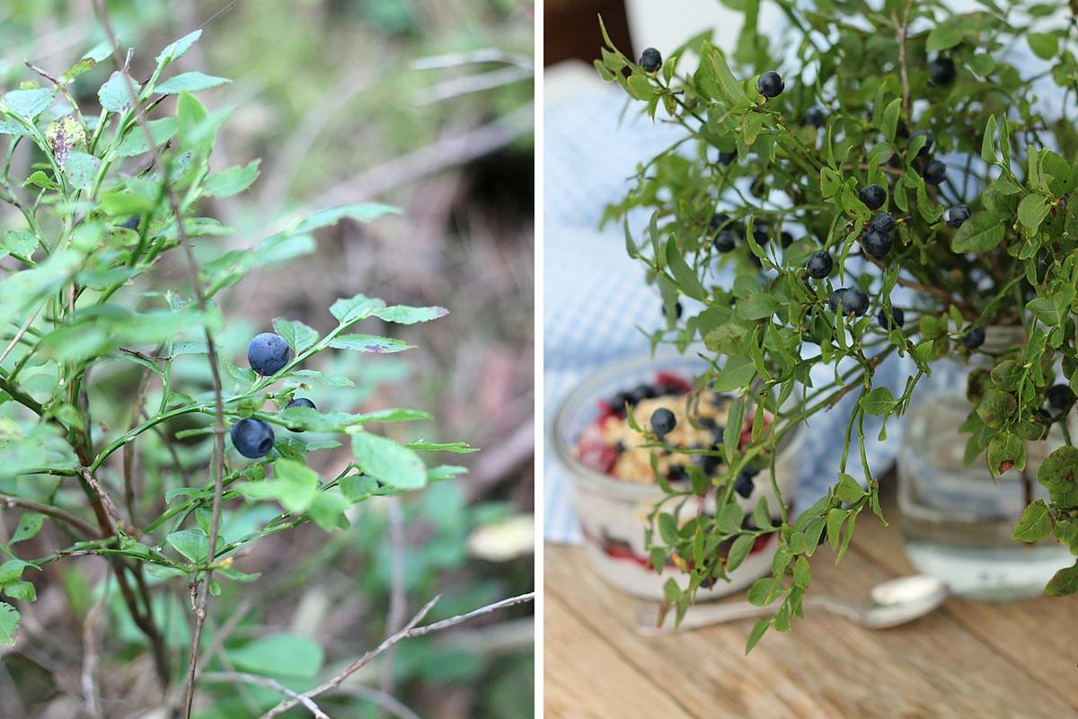 Blåbär – superfood runt husknuten